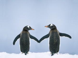 gentoo-penguin-pair-holding-hands