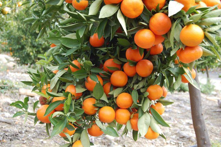 «Πορτοκάλια-Λακωνίας»-2