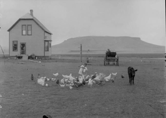 hanock-homestead-feeding-chickens